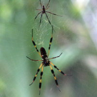 Golden Silk Spider