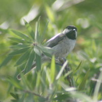 Carolina Chickadee in Bottle Brush
