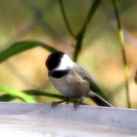 Carolina Chickadee in Feeder