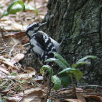 Downy Woodpecker at John Chestnut Park