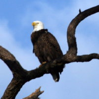 Eagle at Anclote in Tarpon Springs Florida