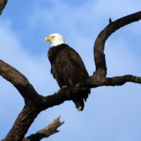 Eagle early morning at Anclote in Tarpon Springs Florida