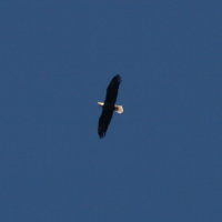 Eagle at Anderson Park - Tarpon Springs Florida