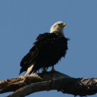 Eagle mid afternoon at Anclote in Tarpon Springs Florida
