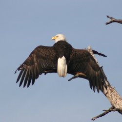 Bald Eagle Anclote 2009