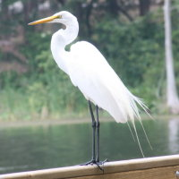 Egret at Anderson Park Tarpon Springs Florida