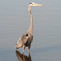 Great Blue Heron - Port Richey FL