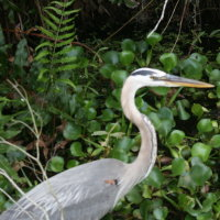 Great Blue Heron - Palm Harbor FL