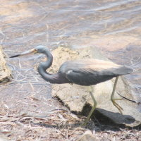 Little Blue Heron - Tarpon Springs FL