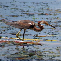 Tricolored Heron at Anderson Park - Tarpon Springs FL