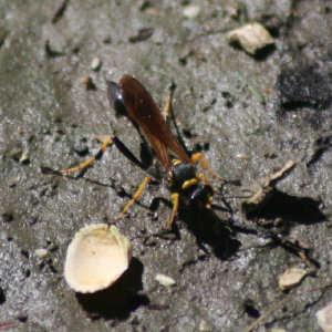 Mud Dabber Wasp