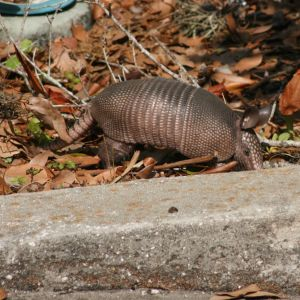 Armadillo foraging for bugs in Tarpon Springs Florida