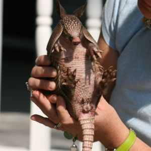 Young Armadillo being held