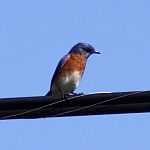 Eastern Bluebird Photos