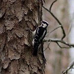 Downy Woodpecker in North Carolina