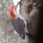 Red-bellied Woodpecker in North Carolina