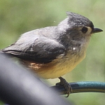 Titmouse in North Carolina