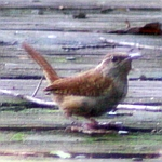 Carolina Wrens in North Carolina