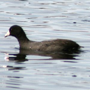 American Coot at Anderson Park