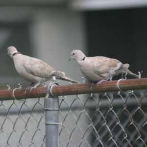Eurasian Collared-Dove on Fence