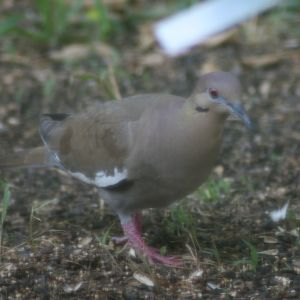 White-winged Dove on ground