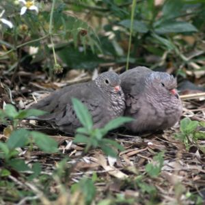 Common Ground-Doves trying to stay warm