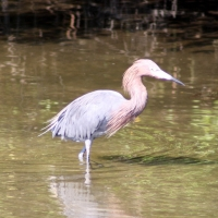 Reddish Egret Palm Harbor Florida