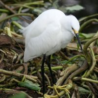 Snow Egret at Gatorland Florida