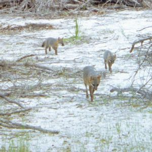 Gray Foxes approaching