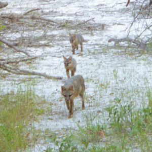 Gray Foxes at James Grey Preserve
