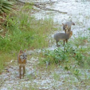 Gray Foxes photos from Florida
