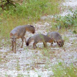 Gray Fox family in New Port Richey Florida