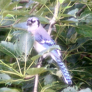 Blue Jay in Charlotte NC tree