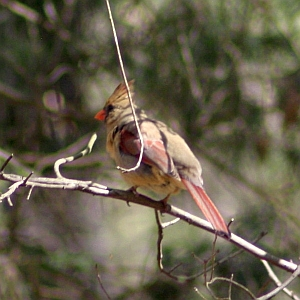 Female Cardinal in North Carolina