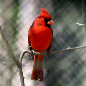 Male Cardinal in North Carolina
