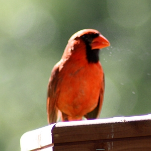 Male Cardinal at Feeder