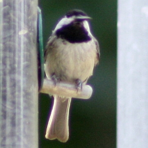 Chickadee at Squirrel Lake Park