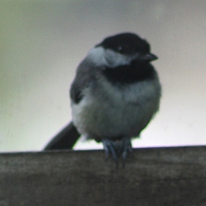 Chickadee in feeder
