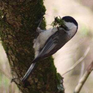 Chickadee gathering moss