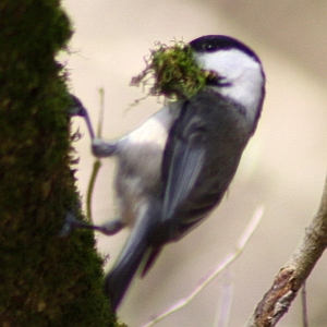 Carolina Chickadee with moss