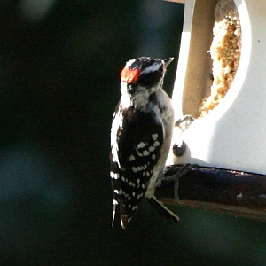 Male Downy Woodpecker in North Carolina