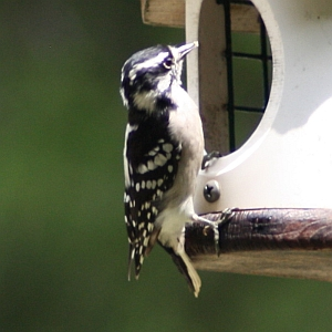 Female Downy Woodpecker in North Carolina