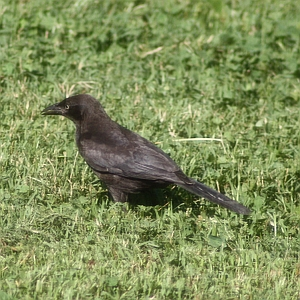 Common Grackle on ground