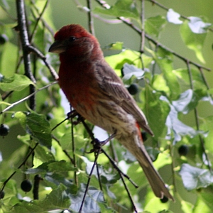 Male House Finch Charlotte North Carolina