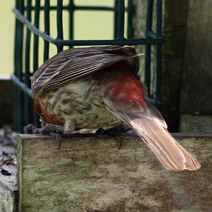 House Finch Tail