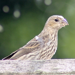 Female House Finch at Squirrel Lake Park