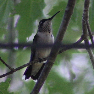Ruby-throated Hummingbird perching in tree above feeder