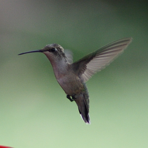 Female Ruby-throated Hummingbird  hovering near feeder