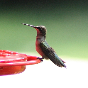 Female Ruby-throated Hummingbird