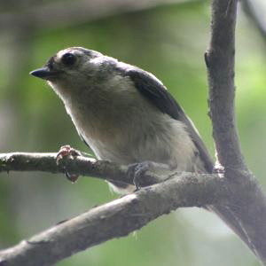 Curious Titmouse
